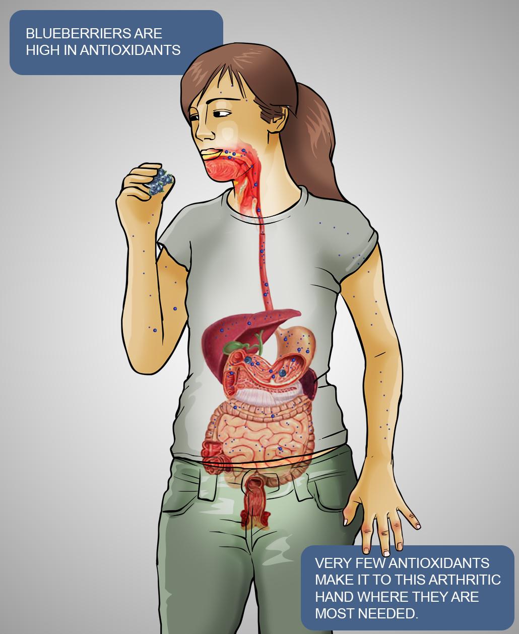 antioxidant digestive system diagram C